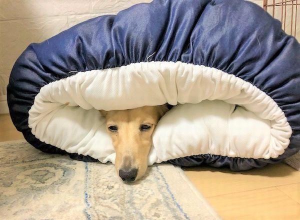 眠たそうな犬